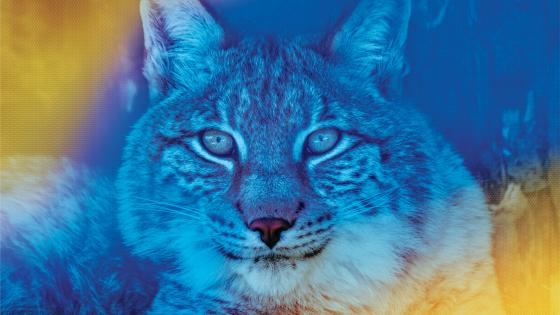 A blue toned photo of a wildcat.